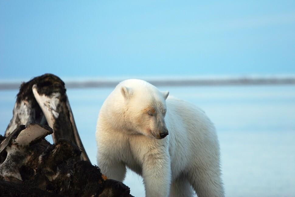 북극해의 끝없는 얼음바다. 거기서 북극곰과 북극곰이 마주칠 확률은 어느 정도 될까요?  남종영 기자