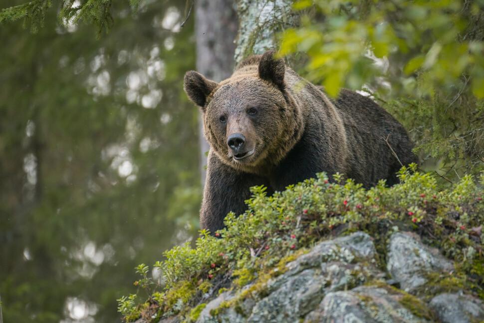 여름철 불루베리 등 각종 장과류는 불곰이 칼로리를 섭취하는 주요 먹이이다. 그러나 도시 환경은 불곰의 주행성 습성을 바꾸고 있다. 게티이미지뱅크