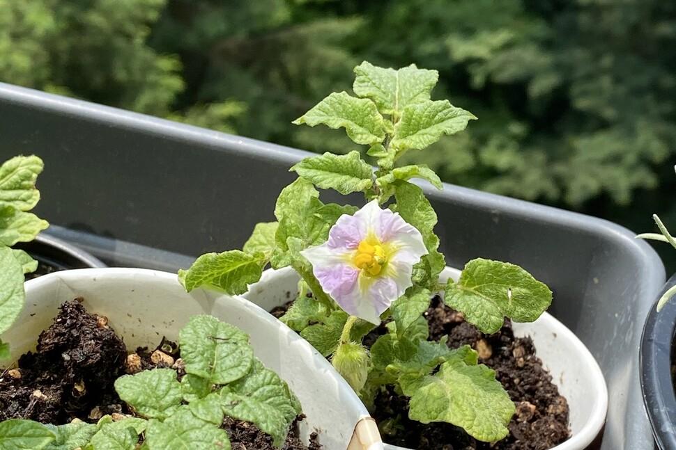 태어나 처음으로 본 감자꽃.