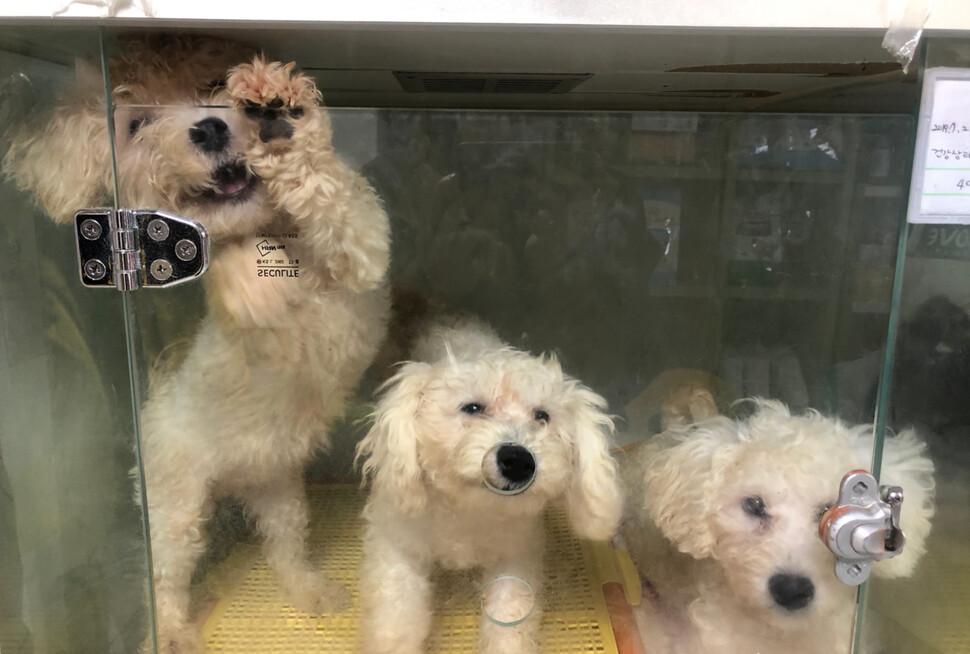 동물자유연대가 지난 2월 동물판매업체 31곳을 조사한 결과, 강아지가 뒷발로 서면 머리가 닿을 정도로 좁은 공간에서 판매되는 강아지들도 많았다. 동물자유연대 제공