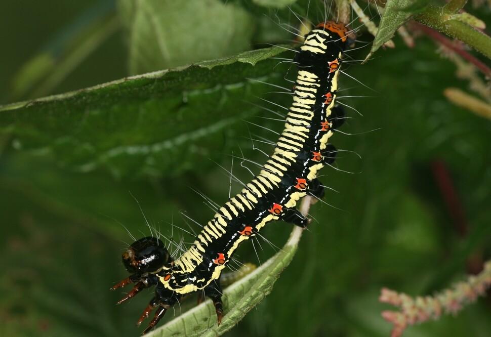 암청색줄무늬밤나방 애벌레. 천적이 오면 일제히 몸을 흔들어 소리를 내어 쫓아낸다.