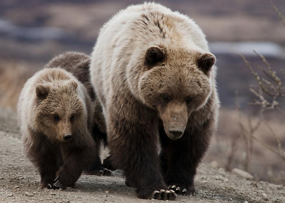 야행성으로의 전환은 생존을 가른다. 그러나 3살 이상의 불곰만이 이런 적응을 했다. 위키미디어 코먼스 제공