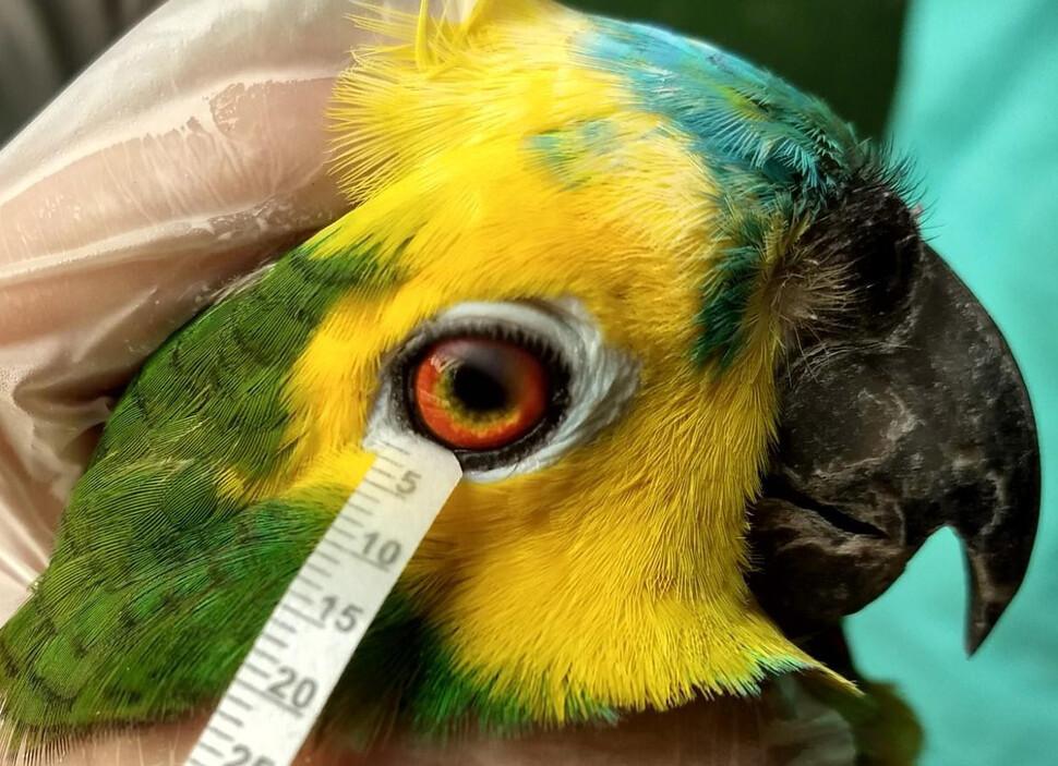 하늘을 나는 새는 각막을 보호하기 위해 단백질 함량이 더 높았다. 앵무새의 눈물 채취 모습. 아리안 오리아 제공