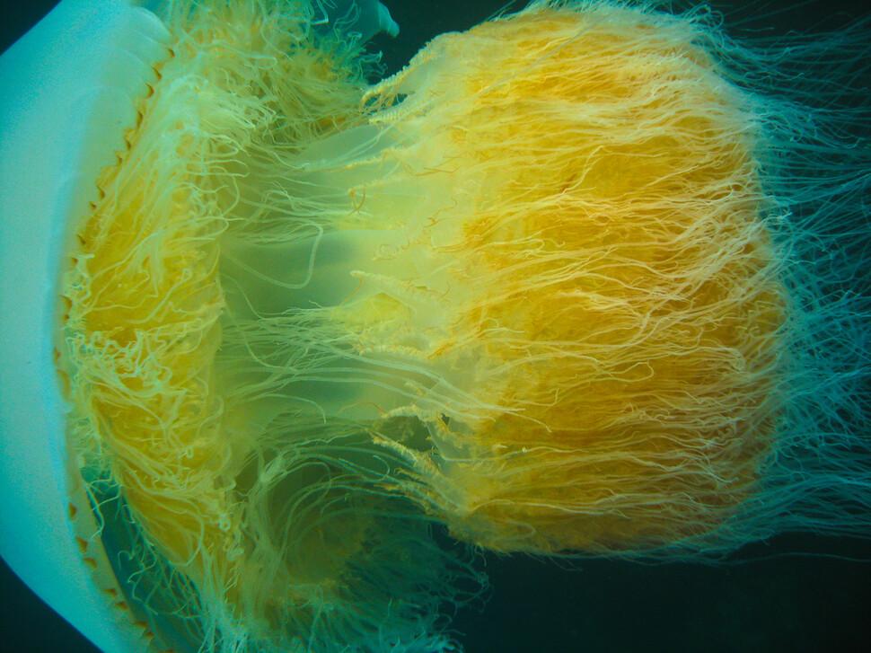 제주도에서 촬영한 노무라입깃해파리. 쌀알 크기의 유생이 6개월 만에 어른 키보다 크게 자란다. 황해와 동중국해가 주 서식지이다. 위키미디어 코먼스 제공.