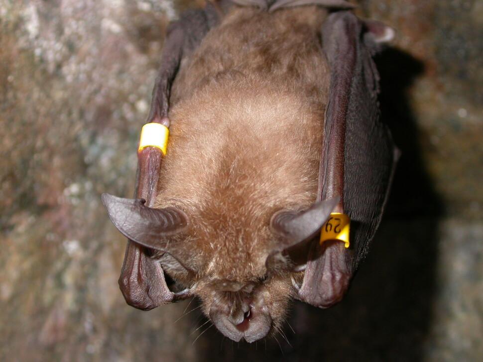 겨울잠 도중 이동실태를 조사하기 위해 가락지를 부착한 관박쥐. 동굴 천장에서 조심스럽게 떼어내 무게를 재도 깨어나지 않는다. 김선숙 국립생태원 박사 제공.