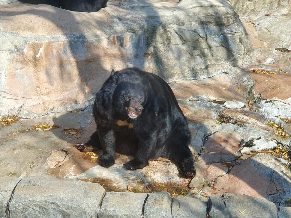 사람이 던져 준 먹이에 비만이 된 반달가슴곰. 어웨어 제공