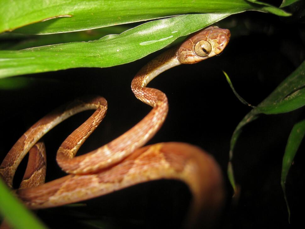 몸과 목이 극단적으로 가는 열대 뱀. 개구리와 도마뱀이 주 먹이이나 개구리 감소로 인해 영양 상태가 악화하고 있다. 앤드루 하인 제공.