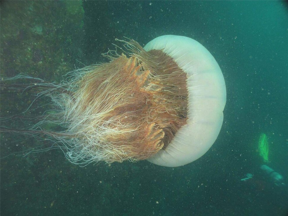 세계에서 가장 큰 해파리의 하나인 노무라입깃해파리는 촉수에서 심하면 죽음에 이르게 하는 독침을 쏜다. 한국해양과학기술원 제공.