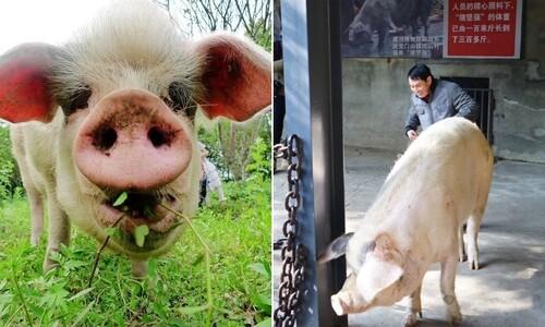 쓰촨대지진 때 36일간 버틴 '영웅 돼지' 세상을 떠나다