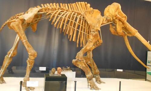 세대마다 200㎏씩 '감량', 지중해 미니코끼리는 어떻게 탄생했나