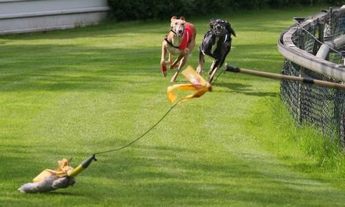 '경주견' 그레이하운드의 비극…지난해도 400마리 죽음