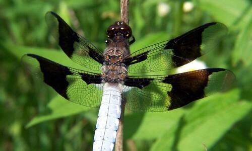 기후변화가 잠자리 날개색에 미치는 영향