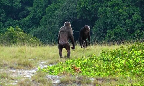 침팬지 무리의 느닷없는 습격…평화는 한순간에 깨졌다