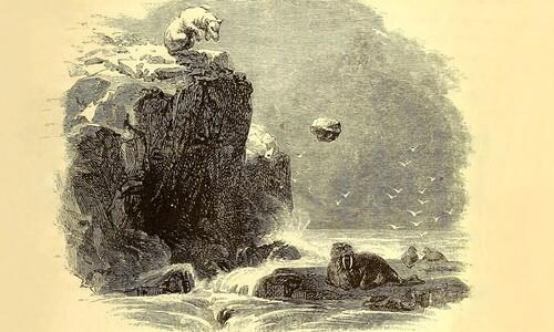 """북극곰이 바위를 던져 바다코끼리를 사냥한다?…""""가능한 일"""""""