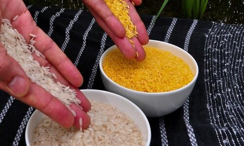 논란의 유전자변형 '황금쌀'…20여년만에 밥상 오른다