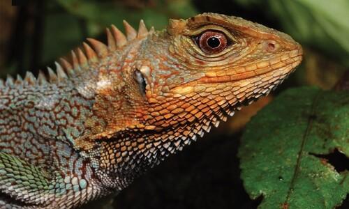 17.4㎝ 공룡?…안데스에서 공룡 닮은 신종 도마뱀 잡았다