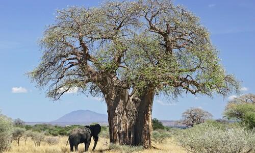 '불멸의 나무' 바오바브, 카카오 뛰어넘는 아프리카 농작물 되나