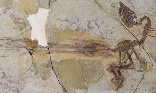 '봉황'이라 불러다오…몸보다 1.5배 긴 꼬리, 새 화석 발견