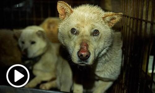 개 도살장에서 벌어지는 '고통사'…개 식용 산업의 실체