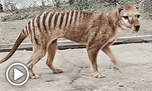 [영상] 멸종 '주머니 늑대', 85년 만에 컬러 영상으로 복원