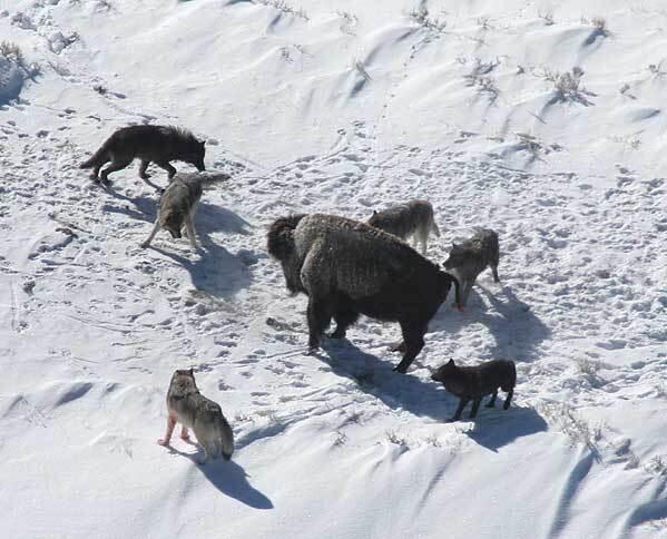 Lobo en el Parque Nacional de Yellowstone, EE.UU. cazando toros.  Los lobos y los cazadores tienen métodos de caza similares para sus presas.  Doc Smith, Oficina de Administración del Parque Nacional de Yellowstone, cortesía de Wikimedia Commons
