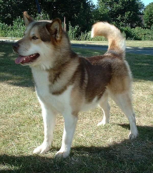 Σκύλος της Γροιλανδίας, μια από τις παλαιότερες φυλές σκύλων.  Η εξημέρωση των σκύλων ξεκίνησε στη βόρεια Ευρασία κατά την εποχή των παγετώνων.  Παρέχεται από το Wikimedia Commons.