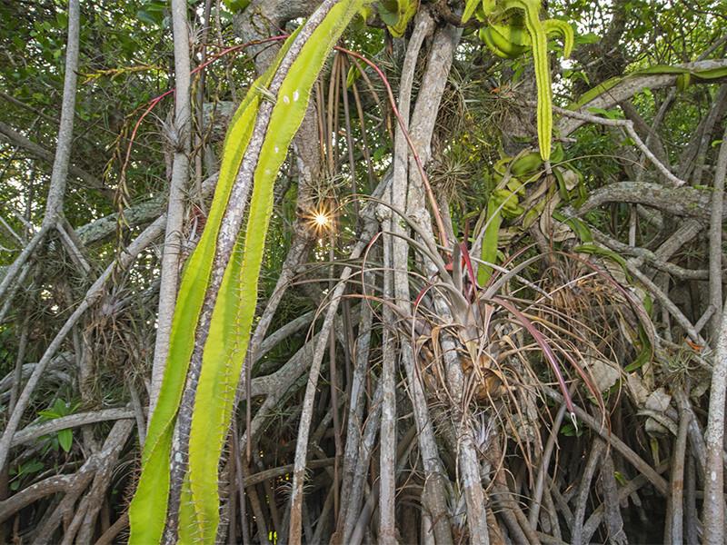Es uno de los hábitats más raros del mundo, con cactus y orquídeas enclavados en manglares rojos.  Atribución de Octavia Aburto-Oropisa.