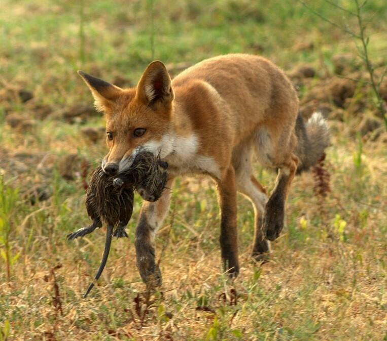 La volpe, un predatore di taglia media, caccia qualsiasi cosa quando se ne presenta l'occasione.  La volpe che cacciava Nutria.  Stefano Bettini fornito da Wikimedia Commons