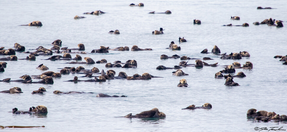 지금은 사라진 알류 샨 열도의 수달 무리. 해안 ㎞ 당 6 마리가 최소한의 생태 기능을한다. 더글라스 셔 제공