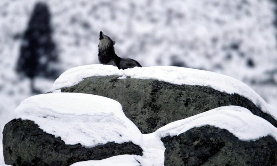 Οι λύκοι είναι τα μόνα ζώα που εξημερώθηκαν κατά τη διάρκεια του κυνηγιού και του κυνηγιού πριν οι άνθρωποι εγκατασταθούν στη γεωργία.  Το σημείο εκκίνησης μπορεί να είναι ένα χαμένο cub λύκου που έφεραν ως κατοικίδιο ζώο και τροφοδοτούν το υπερβολικό κρέας.  Jim Biko, ευγενική προσφορά του Wikimedia Commons