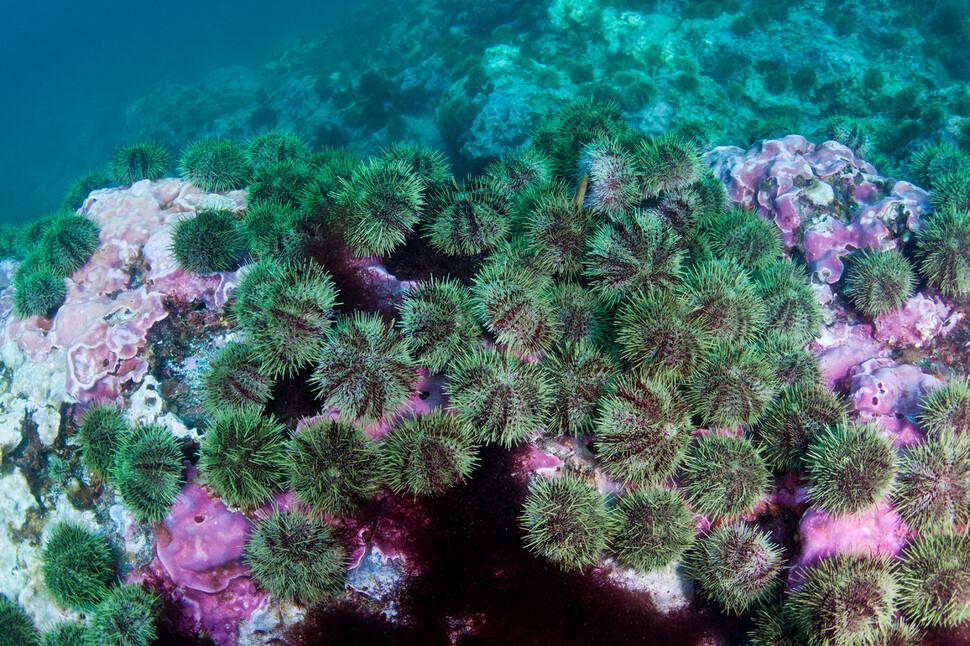 해달이 사라질 폭발적으로 증가으니 석회 조류가 수백 년 동안 쌓아온 기반을 피우고있다. 더글라스 셔 제공