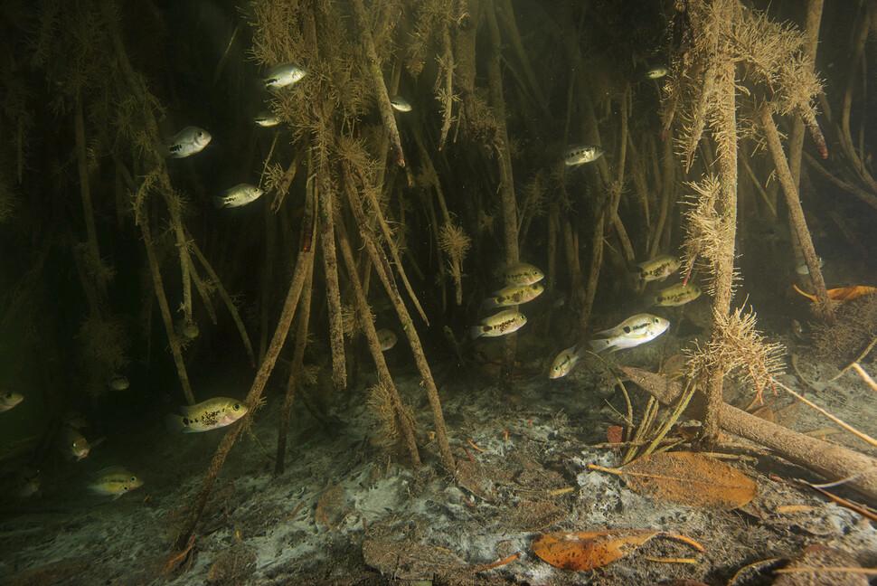 Al igual que los manglares costeros, los manglares del interior realizan una variedad de actividades ambientales, como la cría de crías.  Atribución de Octavia Aburto-Oropisa.