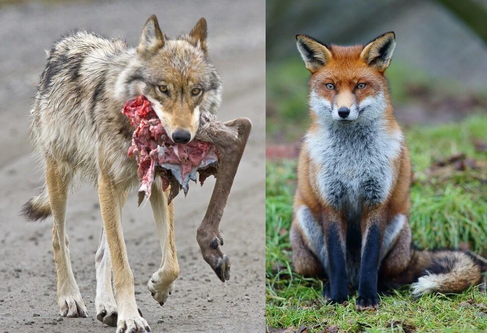 Stesso cane e predatore, ma il lupo caccia le renne (a sinistra), ma la volpe sta mirando al suo relitto.  Fornito da Wikimedia Commons