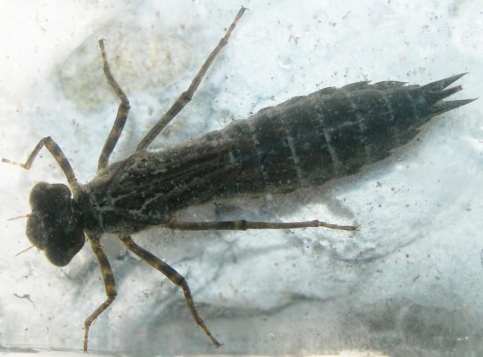 대규모 소독 작업의 결과로 많은 양의 소독제가 물 생태계로 유입됩니다.  이것이 물속의 곤충과 같은 다양한 무척추 동물이 어떻게 영향을 받는지에주의를 기울이는 이유입니다.  잠자리 애벌레.  Wikimedia Commons에서 제공합니다.