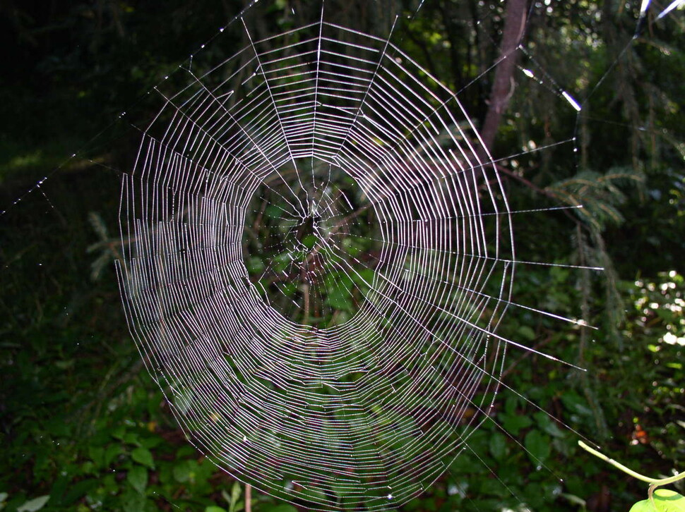 Magician Spider web.  The center is slanted upward compared to the center of the spider web, and the lower section is denser and the area wider.  Beatrice Moose, provided by Wikimedia Commons.