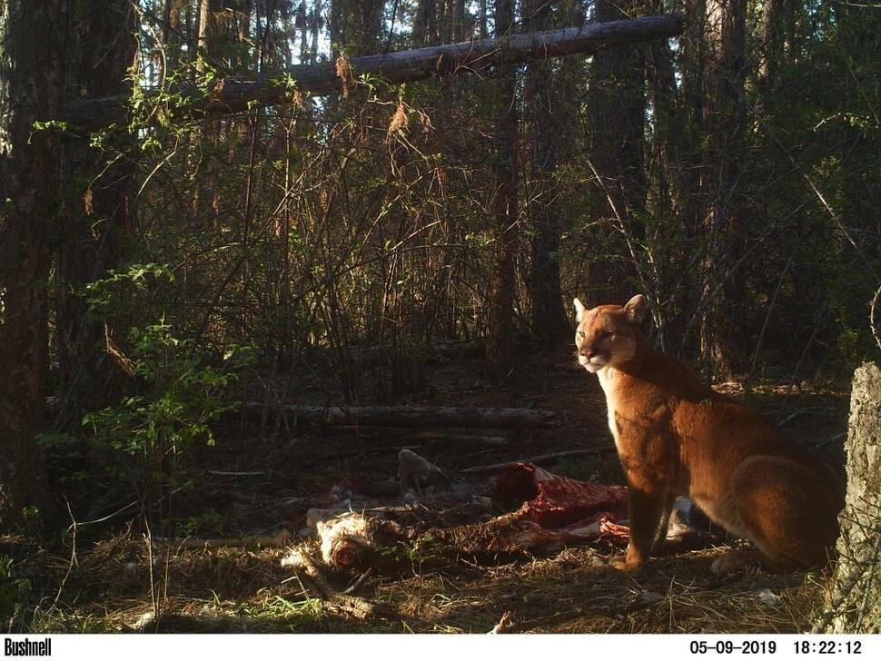 Cougar che protegge il gioco.  Un predatore di taglia media che cerca la preda mentre è lontano dalla scuola per un breve periodo di tempo può perdere la vita.  Fornito da Melia Defibo, University of Washington