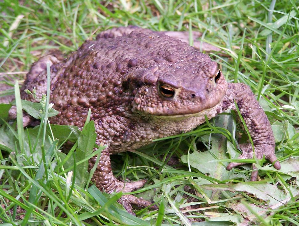 도시 봉쇄로 교통량이 급격히 줄었을 때 번식기에 막 이사 한 두꺼비는 큰 이익을 얻었습니다.  Wikimedia Commons에서 제공합니다.
