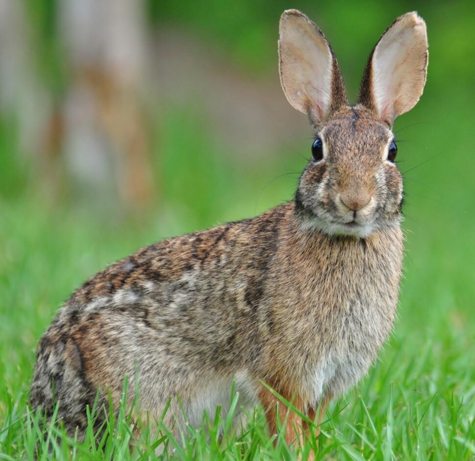 북미에서 이탈리아까지 게임으로 소개 된 동부 솜 꼬리 토끼.  잠금을 통해 낮에도 볼 수 있도록 활성 시간대를 확장했습니다.  Garris Raspberry, Wikimedia Commons 제공.